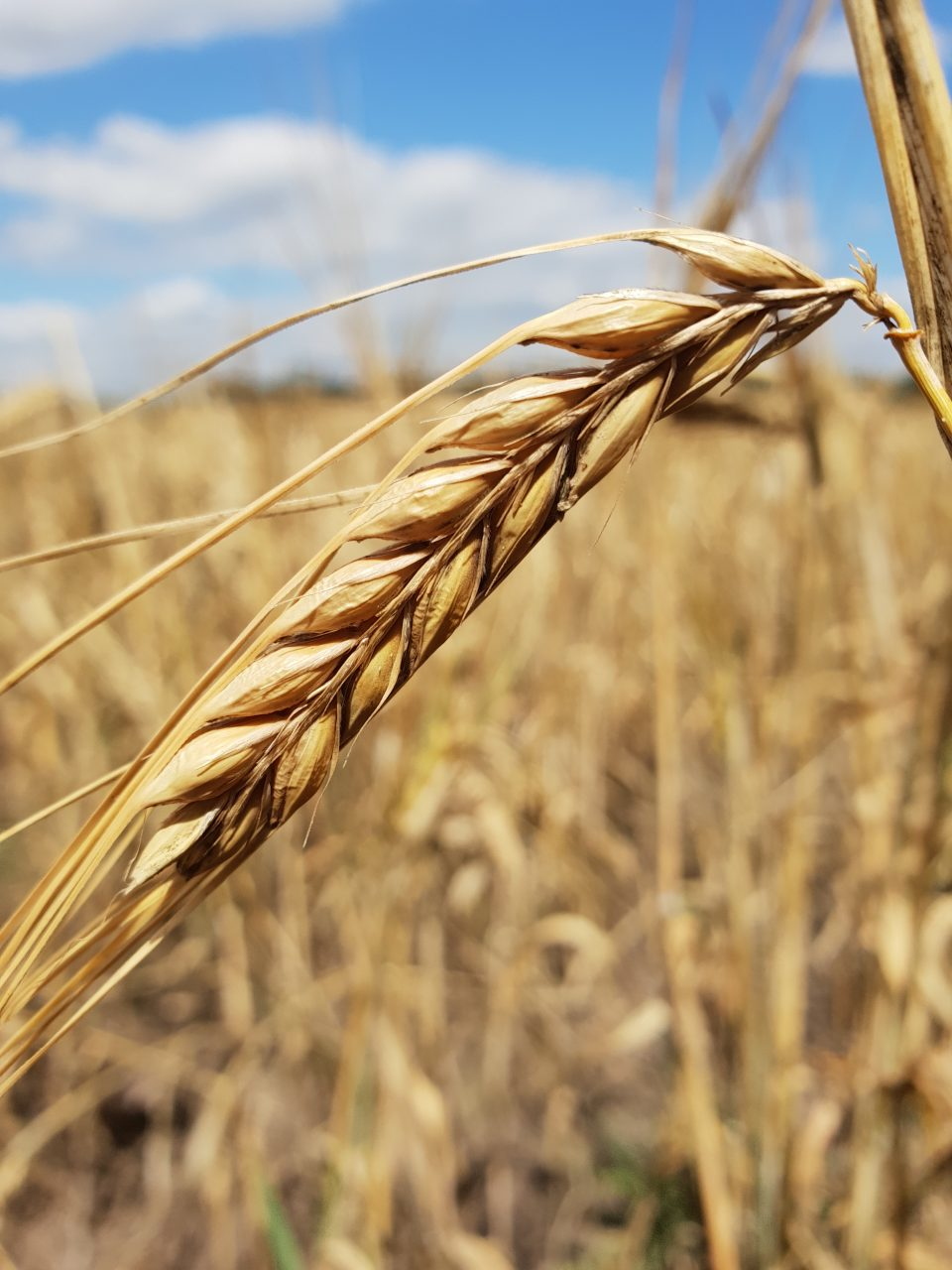 ohne Filter - Ähre, Getreide